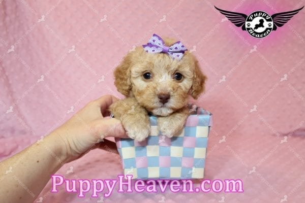 Ariel - Teacup Maltipoo Puppy has found a good loving home with Ronald from Las Vegas, NV 89148-7820