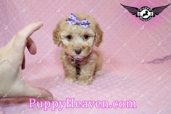 Ariel - Teacup Maltipoo Puppy has found a good loving home with Ronald from Las Vegas, NV 89148-7821