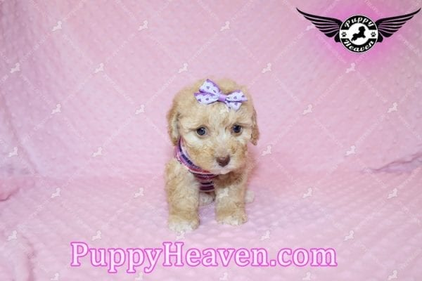Ariel - Teacup Maltipoo Puppy has found a good loving home with Ronald from Las Vegas, NV 89148-7819