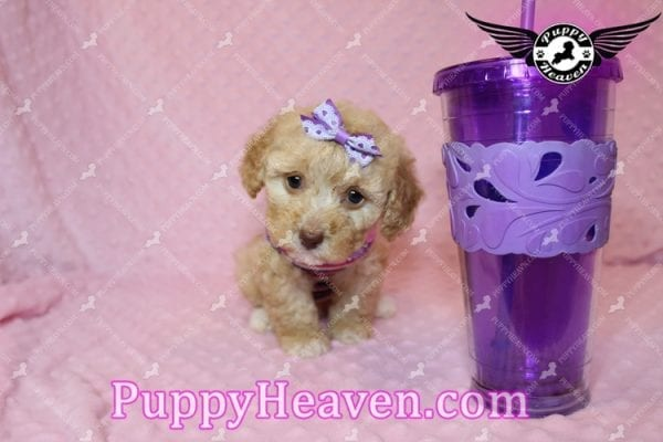 Ariel - Teacup Maltipoo Puppy has found a good loving home with Ronald from Las Vegas, NV 89148-7823