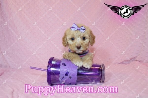 Ariel - Teacup Maltipoo Puppy has found a good loving home with Ronald from Las Vegas, NV 89148-0
