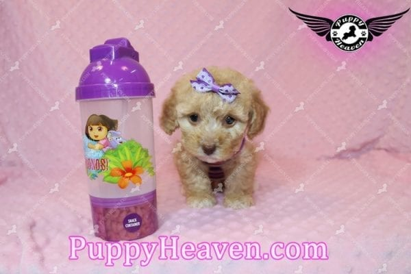 Ariel - Teacup Maltipoo Puppy has found a good loving home with Ronald from Las Vegas, NV 89148-7822