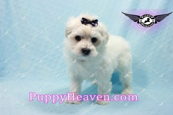 Big Bear - Toy Maltese Puppy has found a good loving home with Roger from Las Vegas, NV 89134-10151
