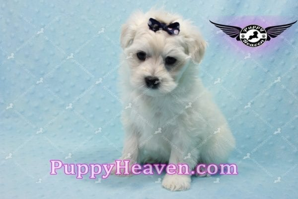 Big Bear - Toy Maltese Puppy has found a good loving home with Roger from Las Vegas, NV 89134-10150