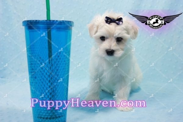Big Bear - Toy Maltese Puppy has found a good loving home with Roger from Las Vegas, NV 89134-10149