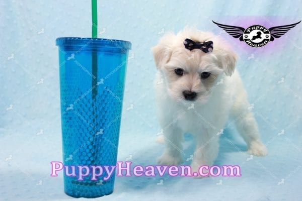 Big Bear - Toy Maltese Puppy has found a good loving home with Roger from Las Vegas, NV 89134-10148