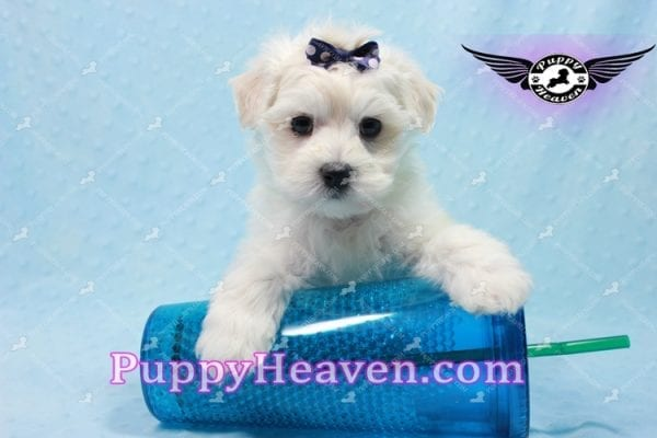 Big Bear - Toy Maltese Puppy has found a good loving home with Roger from Las Vegas, NV 89134-0