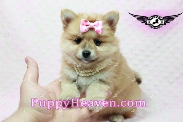 Blac Chyna - Pomeranian Puppy -10416