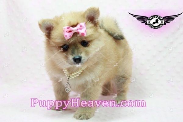 Blac Chyna - Pomeranian Puppy -10420