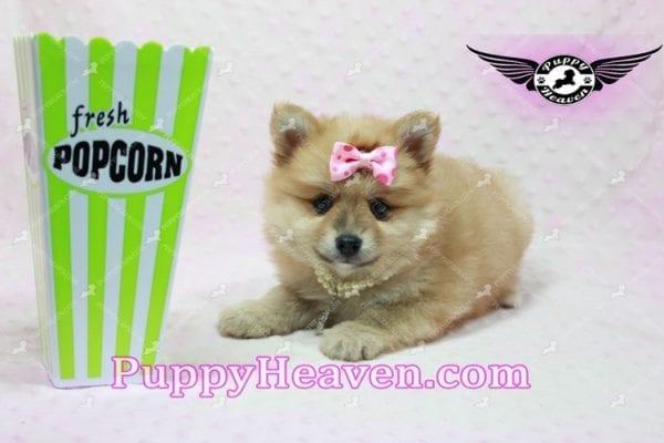 Blac Chyna - Pomeranian Puppy -10417