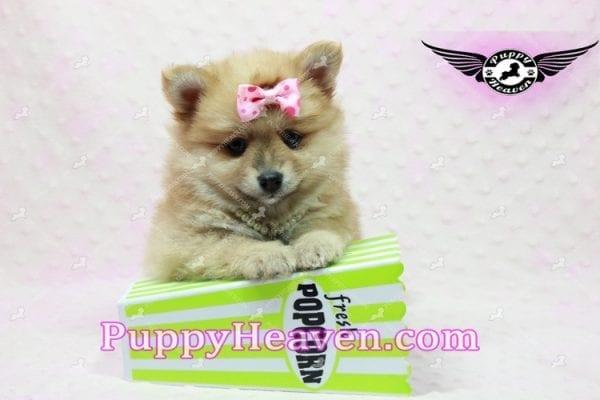 Blac Chyna - Pomeranian Puppy -10418