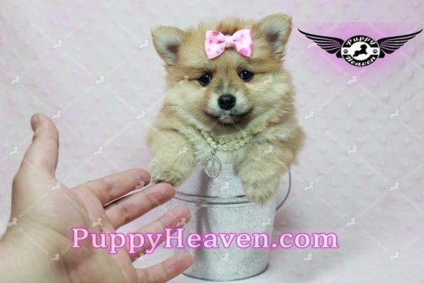 Blac Chyna - Pomeranian Puppy -10421