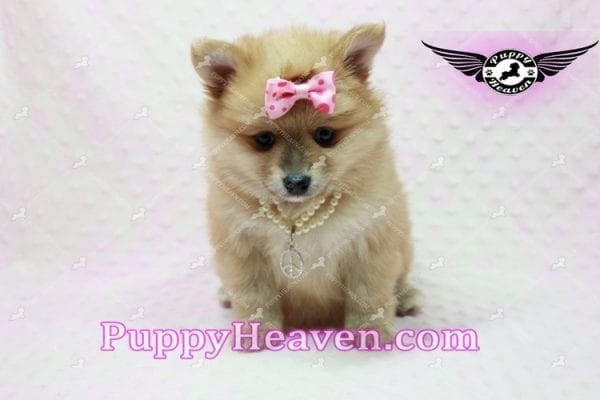Blac Chyna - Pomeranian Puppy -10419