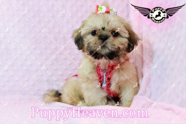Blondie - Toy Shih-Tzu Puppy has found a good loving him with CHARLES FROM ONTARIO, CANADA-10477