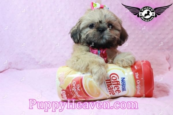 Blondie - Toy Shih-Tzu Puppy has found a good loving him with CHARLES FROM ONTARIO, CANADA-10476