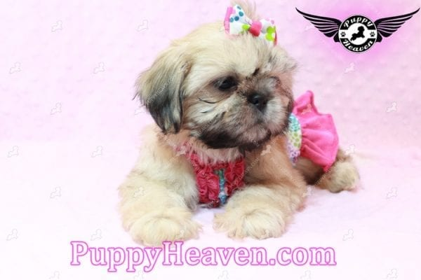 Blondie - Toy Shih-Tzu Puppy has found a good loving him with CHARLES FROM ONTARIO, CANADA-10480