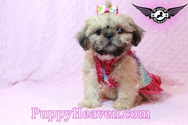 Blondie - Toy Shih-Tzu Puppy has found a good loving him with CHARLES FROM ONTARIO, CANADA-10475
