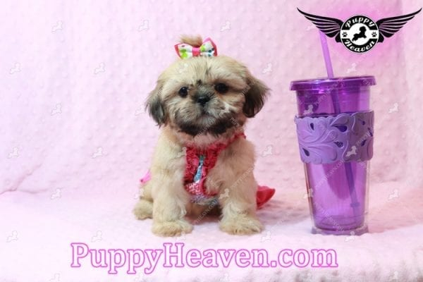 Blondie - Toy Shih-Tzu Puppy has found a good loving him with CHARLES FROM ONTARIO, CANADA-0