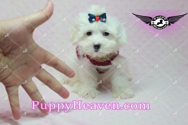 Britney Spears - Toy Maltipoo -0