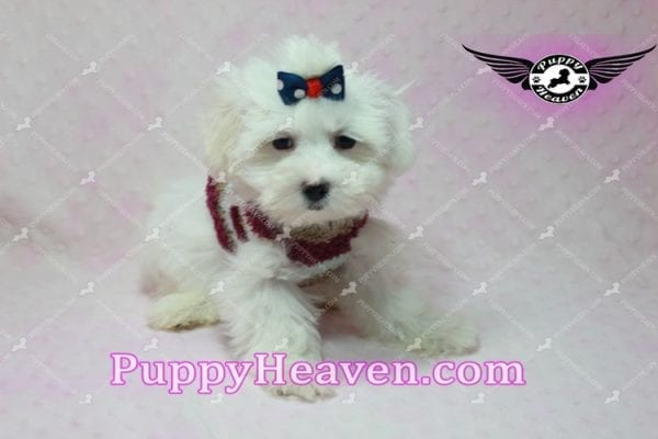 Britney Spears - Toy Maltipoo -10773