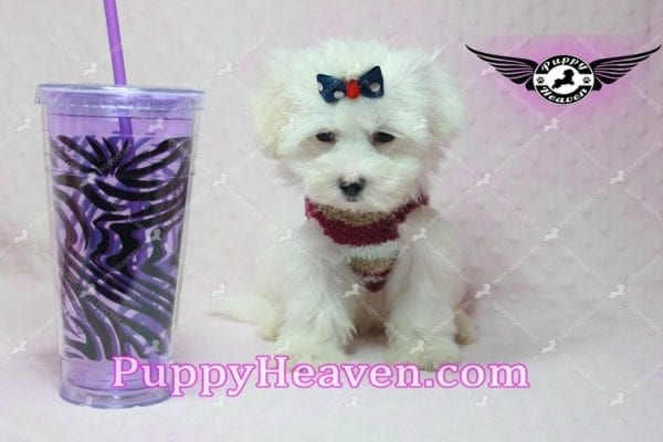 Britney Spears - Toy Maltipoo -10775