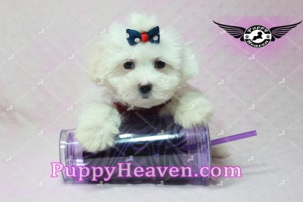 Britney Spears - Toy Maltipoo -10777