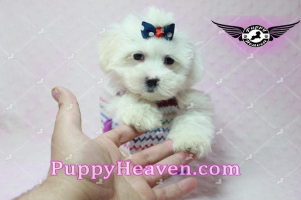 Britney Spears - Toy Maltipoo -10776