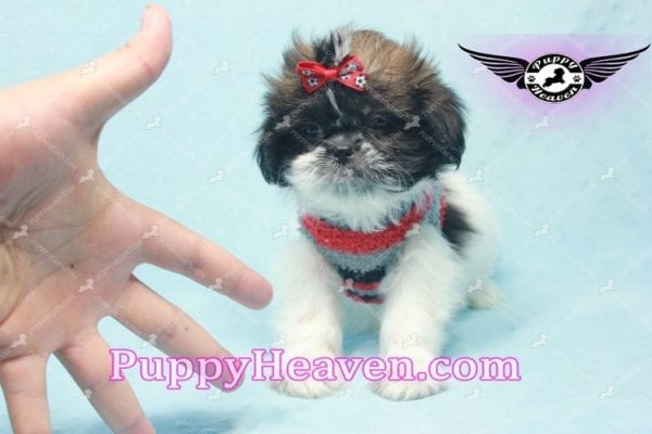 Bruce Willis -Shih Tzu Puppy -10782