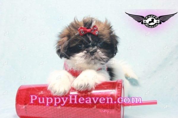 Bruce Willis -Shih Tzu Puppy -10781