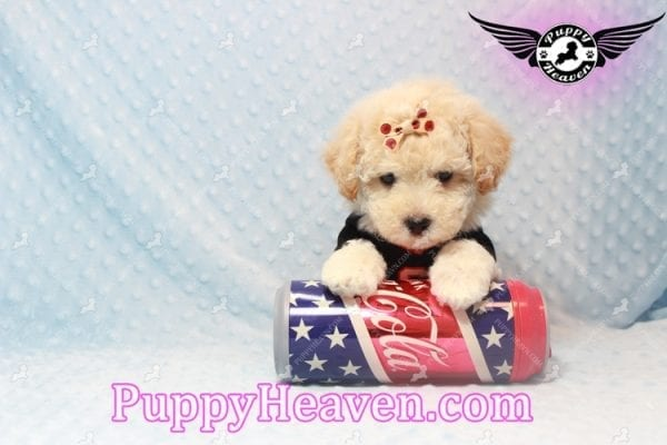 Bear - Toy Maltipoo Puppy has found a good loving home with FIDEL & CORRINE FROM CHICAGO, IL 60652-10668