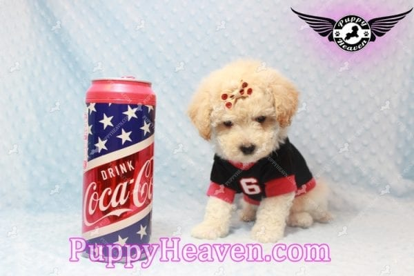 Bear - Toy Maltipoo Puppy has found a good loving home with FIDEL & CORRINE FROM CHICAGO, IL 60652-0