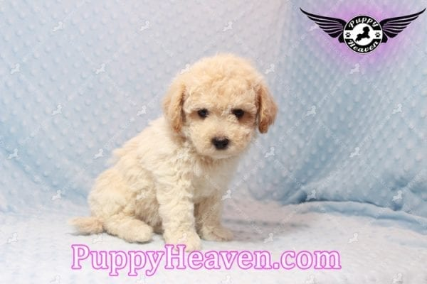 Bear - Toy Maltipoo Puppy has found a good loving home with FIDEL & CORRINE FROM CHICAGO, IL 60652-10666