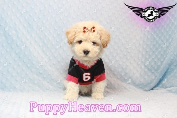 Bear - Toy Maltipoo Puppy has found a good loving home with FIDEL & CORRINE FROM CHICAGO, IL 60652-10664
