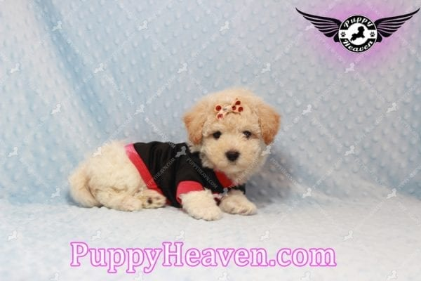 Bear - Toy Maltipoo Puppy has found a good loving home with FIDEL & CORRINE FROM CHICAGO, IL 60652-10663