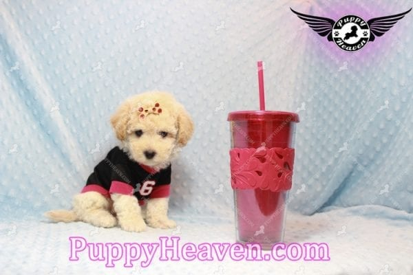 Bear - Toy Maltipoo Puppy has found a good loving home with FIDEL & CORRINE FROM CHICAGO, IL 60652-10667