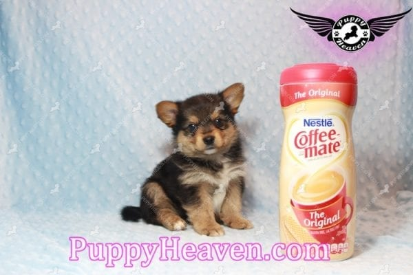 Creed - Toy Porkie Puppy has found a good loving home with LaNinja from North Las Vegas, NV 89030-0