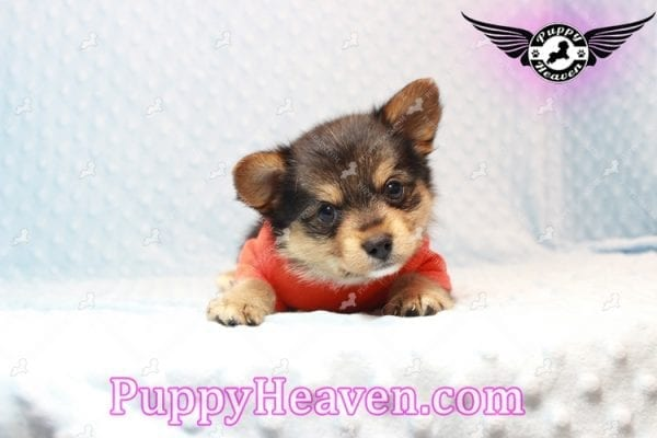 Creed - Toy Porkie Puppy has found a good loving home with LaNinja from North Las Vegas, NV 89030-10641
