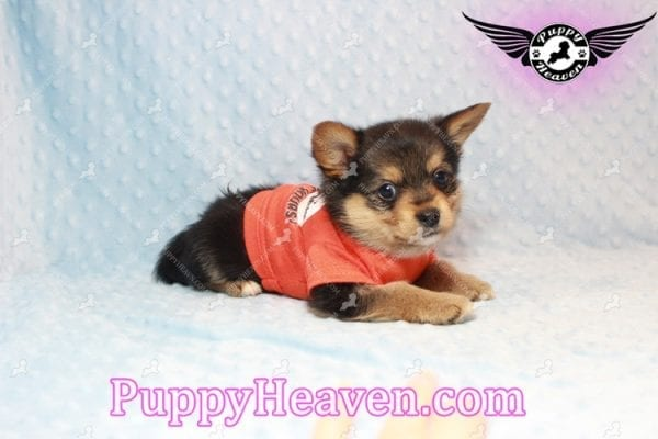 Creed - Toy Porkie Puppy has found a good loving home with LaNinja from North Las Vegas, NV 89030-10644