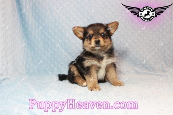 Creed - Toy Porkie Puppy has found a good loving home with LaNinja from North Las Vegas, NV 89030-10643