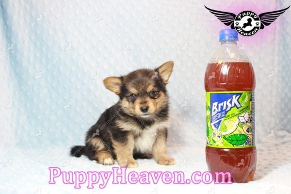 Creed - Toy Porkie Puppy has found a good loving home with LaNinja from North Las Vegas, NV 89030-10645