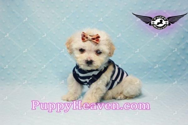 Denver - Teacup Shorkie Puppy has found a good loving home!-10173