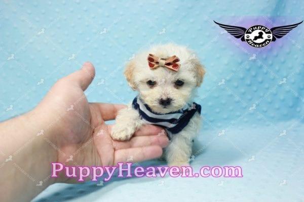 Denver - Teacup Shorkie Puppy has found a good loving home!-10174
