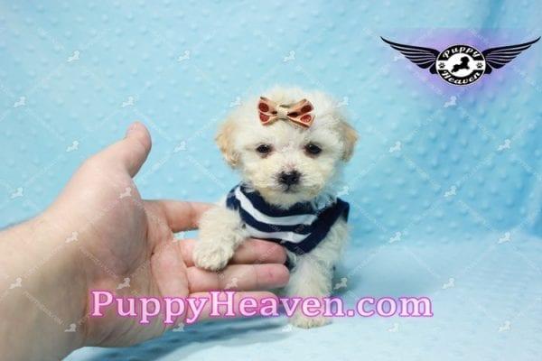 Denver - Teacup Shorkie Puppy has found a good loving home!-10168