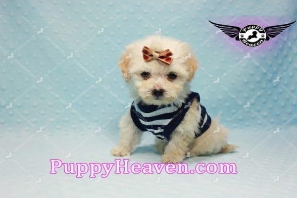 Denver - Teacup Shorkie Puppy has found a good loving home!-10178