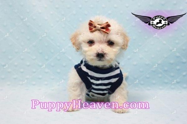 Denver - Teacup Shorkie Puppy has found a good loving home!-10172