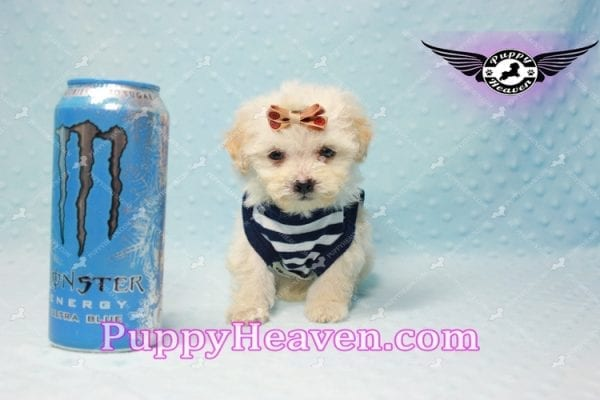 Denver - Teacup Shorkie Puppy has found a good loving home!-10176