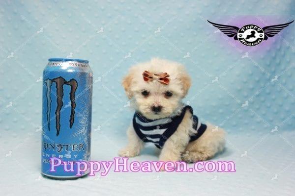 Denver - Teacup Shorkie Puppy has found a good loving home!-0