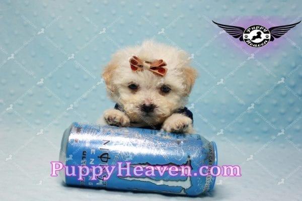 Denver - Teacup Shorkie Puppy has found a good loving home!-10170