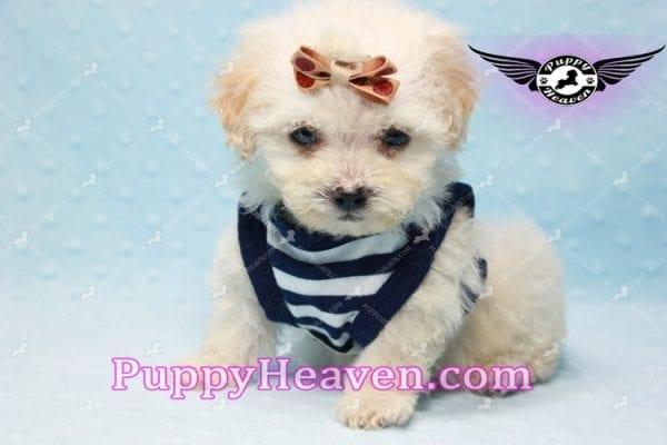 Denver - Teacup Shorkie Puppy has found a good loving home!-10175