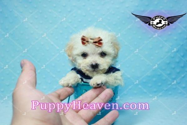 Denver - Teacup Shorkie Puppy has found a good loving home!-10177